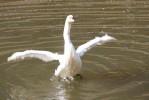 Лебединая верность гомельскому парку