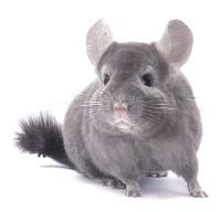 В экспозиции «Экзотические животные» появились новые, красивые и очень милые  зверьки – Шиншиллы.