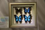 «ПОРХАЮЩИЕ ЦВЕТЫ». Выставка-коллекция самых красивых и знаменитых бабочек мира.
